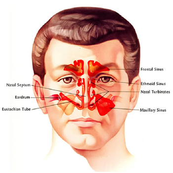 Key Structures of Ear, Nose and Throat